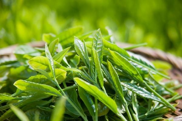 Trà xanh có tác dụng giảm cân
