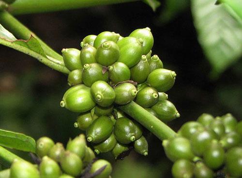 Cà phê xanh hỗ trợ giảm béo bụng tại nhà