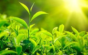 Bật mí cách giảm cân bằng trà xanh đơn giản tại nhà