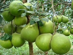 Bạn có tin rằng cách làm giảm mỡ bụng từ trái bưởi không?